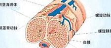 阴茎背神经体性感觉诱发 电位测定法